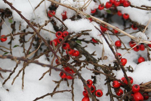 berries_in_snow