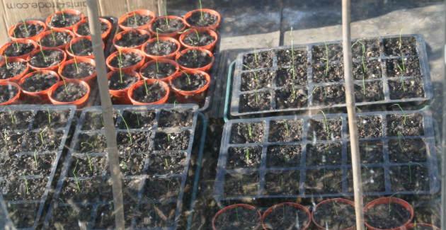 leek_seedlings